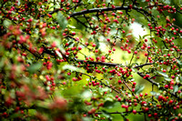 2014-10-07 Red Crabapples